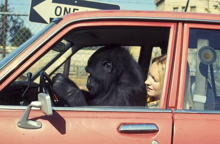 горилла в машине